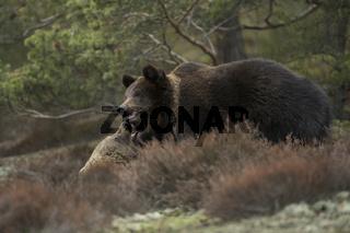 Rangeleien... Europäischer Braunbär *Ursus arctos*