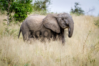 Young Elephant standing in the high grass.