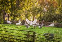 Goose farm in summer