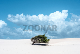 Lonely tree-flag in the desert on the way to the national park Jericoacoara, Ceara state, Brazil