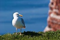 Möwe auf Helgoland