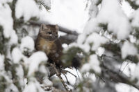 in snow covered trees... American Pine Marten *Martes americana*