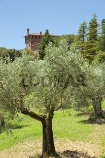 Felder mit Olivenbäumen und Palast Massaini, Toskana, Italien