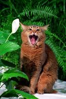 SOMALI, RUDDY, SOMALICAT, ADULT, IN THE GARDEN, YAWNING,