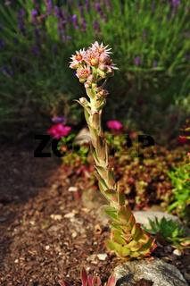 Blütenstand einer Hauswurz