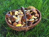 Basket with bay boletes and chanterelles