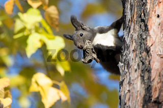 Kamchatka squirrel sitting on a tree trunk with a dry mouth mushroom