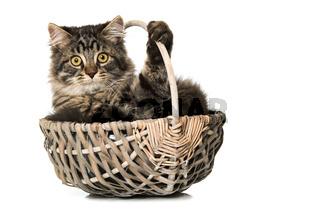 Kätzchen im Körbchen