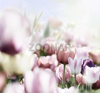 rosa tulpenblüte iin hellem licht