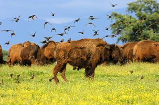 Vögel auf einem Bison bei der Ungeziefer-Suche
