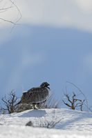 in snow... Greater Sage Grouse *Centrocercus urophasianus*