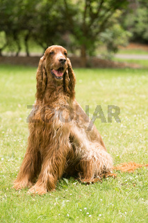 Red Hair Irish Setter Purebred Canine Animal Dog