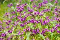 Wind-Brandkraut, Phlomis herba-venti - Phlomis herba-venti, a purple wildflower