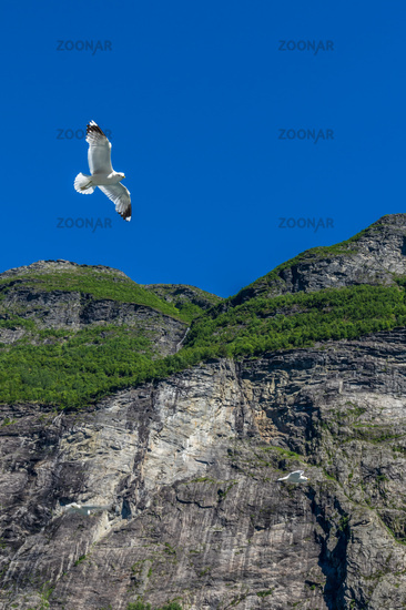 Seagull at the Geirangerfjord