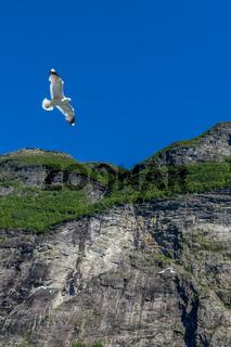 Möve am Geirangerfjord
