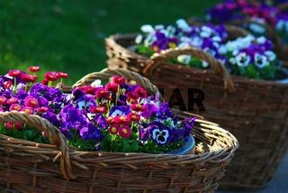 Korb mit Frühlingsblumen