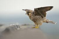 fledged... Peregrine Falcon *Falco peregrinus*
