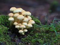 Sulphur tuft, Hypholoma fasciculare,