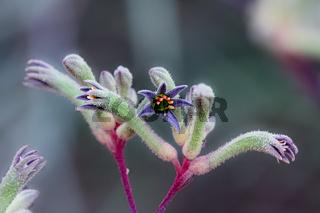 Western paw, beautiful wildflower, Walepole Nornalup National Park, Western Australia