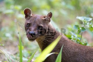 carnivorous mammal Fossa (Cryptoprocta ferox)