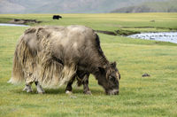 Grazing light brown yak (Bos mutus) with long shaggy hair, Mongolia