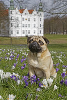 Pug dog sitting on a meadow with crocus, Schleswig Holstein, Germany, Europe