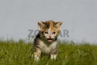 Katze, Kaetzchen, miauend auf Wiese, Cat kitten, miaows on a meadow