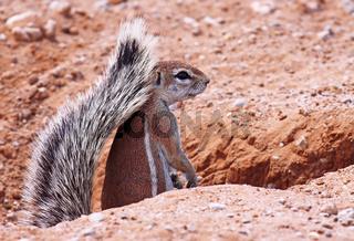 Erdhörnchen, Südafrika, african ground squirrel, south africa, Xerus inauris