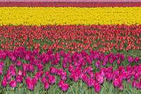 Blühendes Tulpenenfeld in der Blumenzwiebelregion Bollenstreek