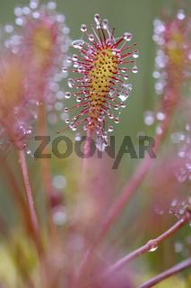 Mittlerer Sonnentau (Drosera intermedia).jpg