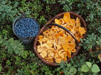 Mushroom basket with chanterelles and bucket with bog bilberries in Sweden