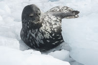 Weddell seal which lies among the ice floes winter day