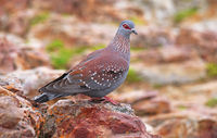 African rock pigeon, speckled pigeon, South Africa