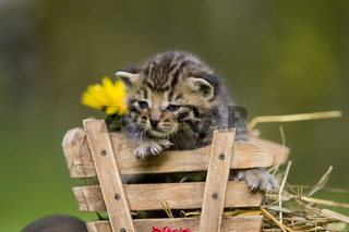Kaetzchen sitzend in Schubkarre, kitten sitting in a hand barrow