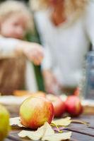 Frische Äpfel bei der Ernte im Herbst