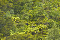 Fern Tree jungle, New Zealand