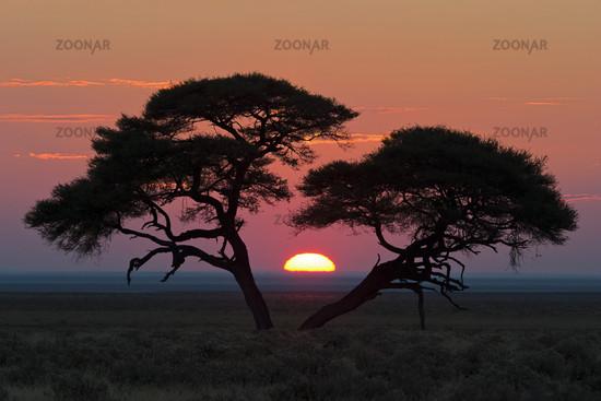 Umbrella Thorn Acacia at sunrise, Africa