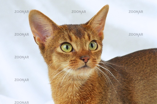 Abyssinian Cat Ruddy