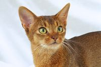 ABYSSINIAN CAT, ABYSSIN, ABY, RUDDY, WILDLOOKING, CLOSE UP,