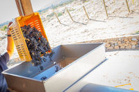 Vintner Dumps Crate of Freshly Picked Grapes Into Processing Machine