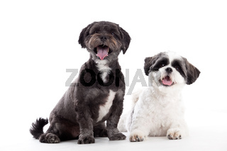 2 shi tzu dogs are looking