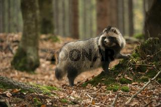 aufmerksam... Marderhund *Nyctereutes procyonoides*