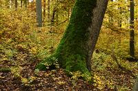autumn, autumn forest, tree, mossy,