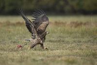 chasing a rival... White tailed Eagle *Haliaeetus albicilla*