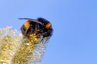 bumblebee on  a catkin