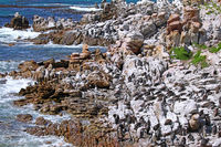 Brillenpinguin-Kolonie, Stony Point, Südafrika, African penguin, South Africa