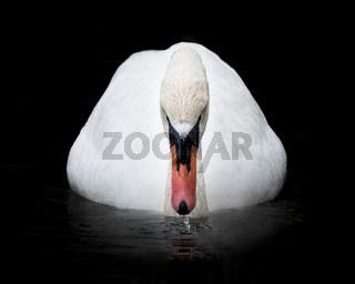 Mute Swan II