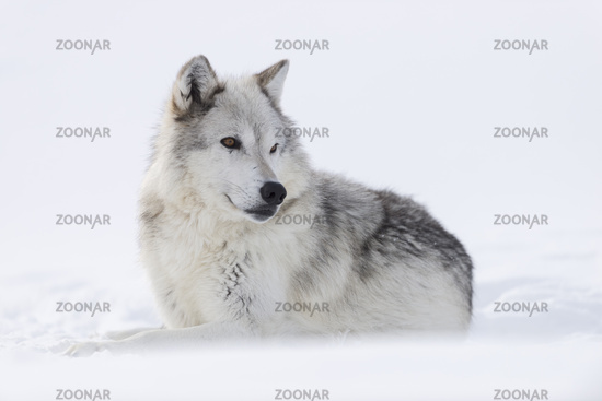 watching aside... Gray Wolf *Canis lupus*