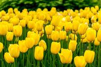 yellow tulips in gosan