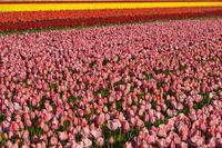 Feld mit pinkfarbenen Tulpen zur Produktion von Tulpenzwiebeln in der Blumenzwiebelregion Bollenstreek
